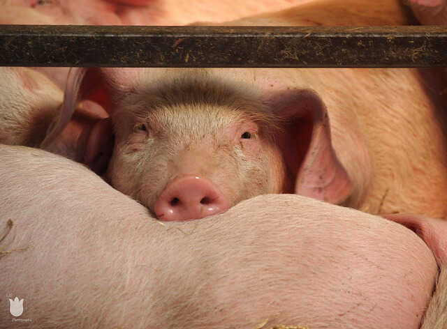 industria-porcina-atractiva-2