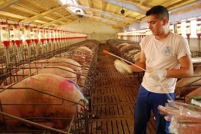 industria-porcina-atractiva-1