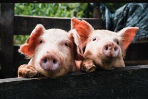 pigs-1