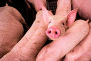 trazabilidad sector porcino